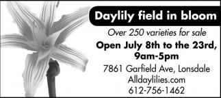 Daylily field in bloom