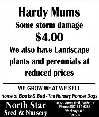 Hardy Mums - Some storm damage $4.00